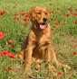 Accademia del Golden - C'est Moi - Allevamento golden-retriever