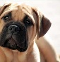 Be My Keeper Bullmastiff - Allevamento bullmastiff