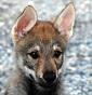 Spirito libero - Allevamento cane-lupo-cecoslovacco