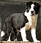 delucas - Allevamento border-collie