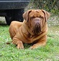 les dogues de la Plaine - Allevamento dogue-de-bordeaux