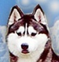 Allevamento Contea del Nord - Allevamento siberian-husky