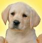 Of Talia Althea - Allevamento labrador-retriever
