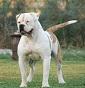 American Bulldog Roma