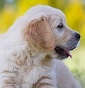 Angel's friends - Allevamento golden-retriever