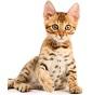 Billi Bengal - Allevamento del gatto Bengal