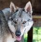 Athanor Lupus - Allevamento cane-lupo-cecoslovacco