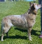 Sanguinetifarm - Allevamento australian-cattle-dog