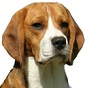 Auximon Beagle Kennel - Allevamento beagle