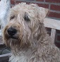 Blonda fòrmeint - Allevamento soft-coated-wheaten-terrier