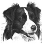Bordergrace - Allevamento border-collie