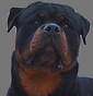 Kennel of Brs Passion - Allevamento rottweiler