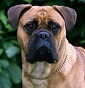 Greenpark Kennel - Allevamento bullmastiff