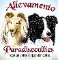 Paradise collies - Allevamento border-collie