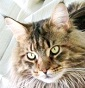 Coon Constellation - Allevamento maine-coon