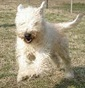 Crazy Coat Kennel - Allevamento soft-coated-wheaten-terrier