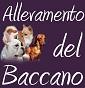 Allevamento Del Baccano - Allevamento chihuahua