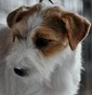 All.to Dewin - Allevamento jack-russell-terrier