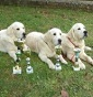 DreamsOfaFantasyWorld - Allevamento golden-retriever