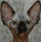 Danaan's Sphynx Cattery