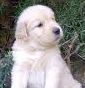 Golden Dorado - Allevamento golden-retriever