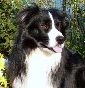 Goldwin Doc - Allevamento border-collie