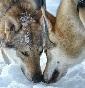 Il Manto del Lupo - Allevamento cane-lupo-cecoslovacco
