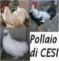 Il pollaio di Cesi - Allevamento livorno