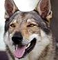 I lupi dell'aspro - Allevamento cane-lupo-cecoslovacco