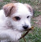 Armonia Canina - Allevamento jack-russell-terrier