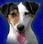 Magna Graecia Jack Russell - Allevamento jack-russell-terrier