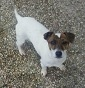Jack Russell  Cesar - Allevamento jack-russell-terrier