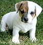 Paciocchini - Allevamento jack-russell-terrier