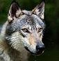 MagicWolf Kennel - Allevamento cane-lupo-cecoslovacco