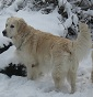 Jewels Honey - Allevamento golden-retriever