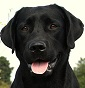 Joy Wave Labradors - Allevamento labrador-retriever