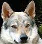 La Valle del Lupo - Allevamento cane-lupo-cecoslovacco