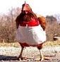 Le galline di Birc