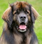 leo rio's dream - Allevamento leonberger