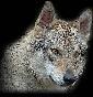 Lupi di Montemorello - Allevamento cane-lupo-cecoslovacco