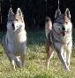Lupi del parco naturale - Allevamento cane-lupo-cecoslovacco