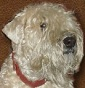 Magic Wheaten - Allevamento soft-coated-wheaten-terrier