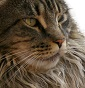Seashore Maine Coon - Allevamento maine-coon