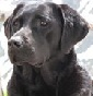 Naturally Wild - Allevamento labrador-retriever