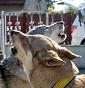 Odi et Amo Kennel - Allevamento cane-lupo-cecoslovacco