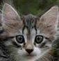 Olenska Siberian Cattery
