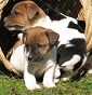 Az. Agricola I Pianali - Allevamento jack-russell-terrier
