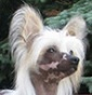 Poarott - Allevamento chinese-crested-dog