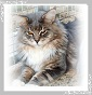 Purplemaine - Allevamento maine-coon