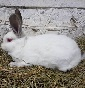 RABBITS  FARM - Allevamento californiana